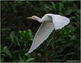 Cattle Egret 6