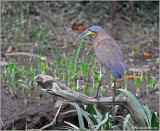 Bare-throated Tiger-Heron 1