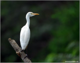 Cattle Egret 7