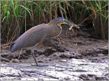 Bare-throated Tiger-Heron 2