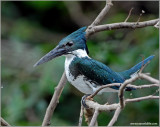 Amazon  Kingfisher 4