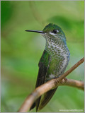 Female Green-crowned Brilliant 5