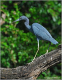 Little Blue Heron 5