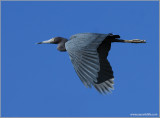 Little Blue Heron 6