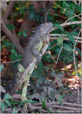 Black Spiny Tailed-Iguana 3