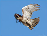 Red-tailed Hawk 44