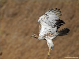 Red-tailed Hawk 46