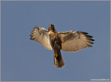 Red-tailed Hawk 47
