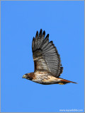 Red-tailed Hawk 48