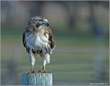 Red-tailed Hawk 49