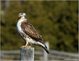 Red-tailed Hawk 50