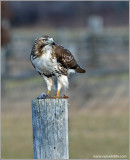 Red-tailed Hawk 52