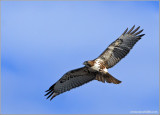 Red-tailed Hawk 53
