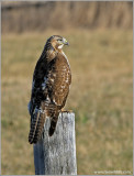 Red-tailed Hawk 54