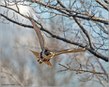 Red-tailed Hawk 55