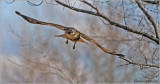 Red-tailed Hawk 56