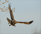 Red-tailed Hawk 57