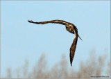 Red-tailed Hawk 58
