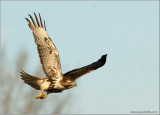 Red-tailed Hawk 59