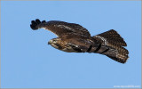 Red-tailed Hawk 60