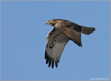 Red-tailed Hawk 61