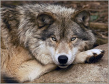 Timber Wolf 27