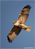 Red-tailed Hawk 63