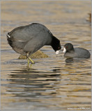 American Coots 3