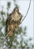 Red-tailed Hawk 64