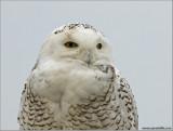Snowy Owl 12