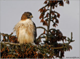 Red-tailed Hawk 65