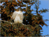 Red-tailed Hawk 66