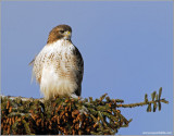 Red-tailed Hawk 67