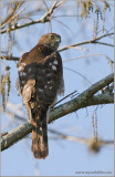 Coopers Hawk 1