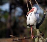 White Ibis 3