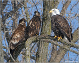 Bald Eagles 28