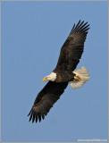 Bald Eagle 32