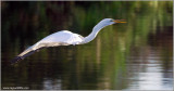 Great Egret 16