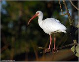 White Ibis 4