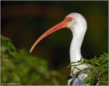 White Ibis 5