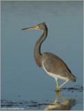 TriColoured Heron 15