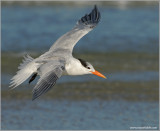 Royal Tern 3