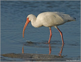 White Ibis 6
