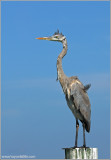 Great Blue Heron 29