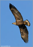 Juvenile Bald Eagle 48