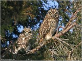 Short-eared Owls 20  with Ice on the Beak?