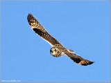 Short-eared Owl 22