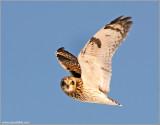 Short-eared Owl 25