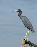 Little Blue Heron 7