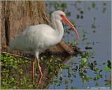 White Ibis 7